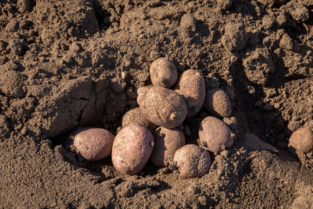 Seed potatoes in soil outdoors Stock Photo