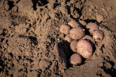 Seed potatoes in soil outdoors on a sunny day. Copy space. Stock Photo