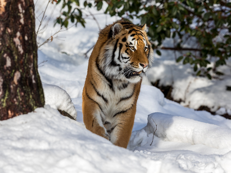 Siberian tiger, Panthera tigris altaica, walking in the snow in the forest. Front view.