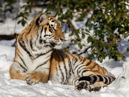 Siberian tiger, Panthera tigris altaica, resting in the snow in the forest. Looking at camera.