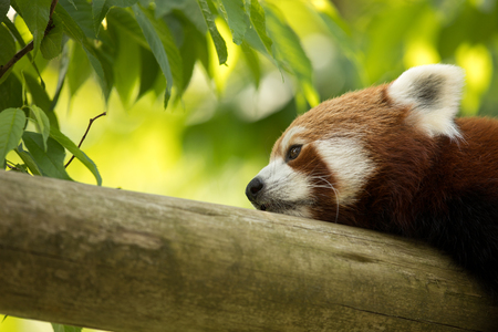 Red panda bear resting on a log, looking depressed and tired. Green forest in the background. Stock Photo