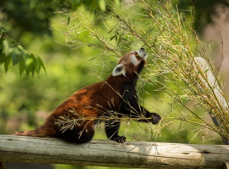 Cute animal, one red panda bear eating bamboo. Animal sitting on a log, holding a bamboo branch while stretching towards green leaves. Green forest in the background. Stock Photo
