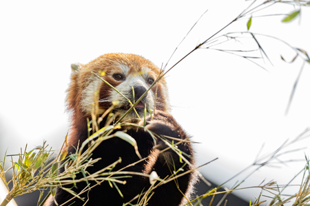 Cute animal, one red panda bear eating bamboo, while holding a bamboo branch with its paws. Light sky background Stock Photo