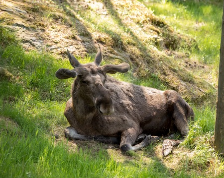 Moose or European elk, Alces alces, bull with antlers and velvet skin lying down in the grass in the forest in Kristiansand Dyrepark, a zoo in Kristiansand, Norway Stock Photo