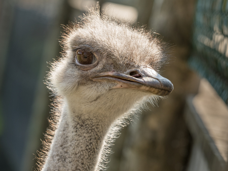 Head of a female Common Ostrich, Struthio camelus, close up.