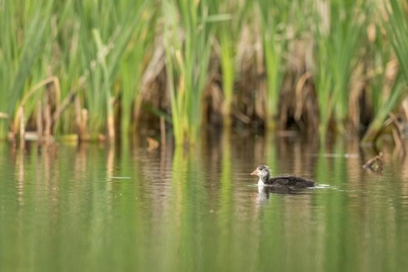 Common Coot, Fulica atra, one young bird swimming alone in green surroundings in a pond.