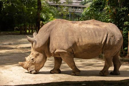 White rhino or square-lipped rhinoceros, Ceratotherium simum. Big male