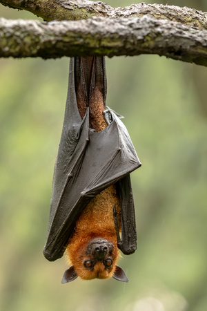Large Malayan flying fox, Pteropus vampyrus, bat hanging from a branch. Imagens