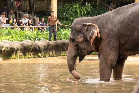 Singapore, December 2018: Asian elephant, Elephas maximus, entertaining visitors in the zoo.