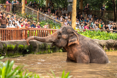 Singapore, December 2018: Asian elephant, Elephas maximus, entertaining in zoo.
