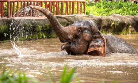 Beautiful female asian elephant, Elephas maximus, taking a bath. 免版税图像