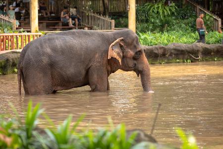 Singapore, december 2018: Asian elephant, Elephas maximus, taking a bath in Singapore Zoo.