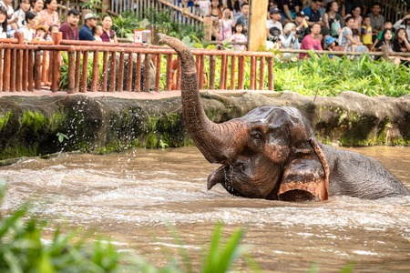 Singapore, December 2018: Asian elephant, Elephas maximus, taking a bath in the zoo.