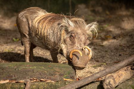 Warthog flirting with camera at the Singapore Zoo Reklamní fotografie