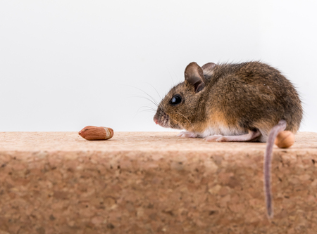 Side view of a wood mouse, Apodemus sylvaticus, sitting on a cork brick with light background, sniffing some peanuts Imagens