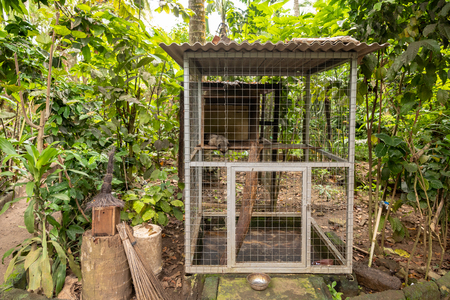 Cage with one Asian Palm Civet, Paradoxurus hermaphroditus, living life in captivity to produce expencive coffee, Kopi Luwak
