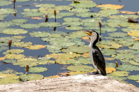 Little Pied Cormorant, Microcarbo melanoleucos, sitting on a rock in front of water lily pond