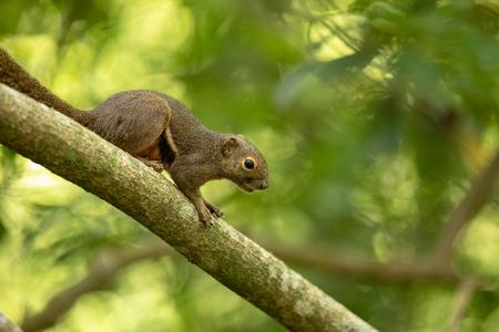 The plantain squirrel, Callosciurus notatus, sitting on a branch with green natural background. Sungei Buloh, Singapore.