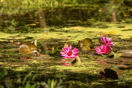 Pond with lily pads and water lilies at the Wetland Center at Sungei Buloh Wetland Reserve.