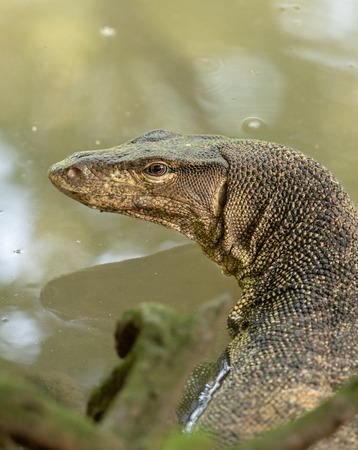 Malayan Water Monitor Lizard, Varanus salvator, in Sungei Buloh Wetland Reserve