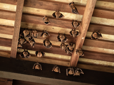 Lesser Dog-faced Fruit Bat, Cyneropterus brachyotis, hanging in a roof