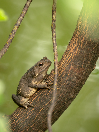 Asian common toad, Black-spined toad, Duttaphrynus melanostictus sitting on tree. Vertical.