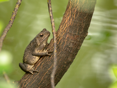 Asian common toad, Black-spined toad, Duttaphrynus melanostictus sitting on tree