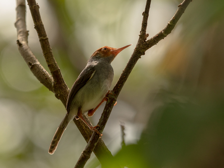 Ashy Tailorbird, Orthotomus ruficeps, sits on branch in forest