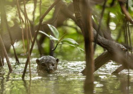 One wild Smooth Coated Otter, Lutra perspicillata, between the mangrove trees. Stock Photo