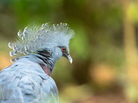 Head of Victoria Crowned Pigeon - Goura victoria. Stock Photo