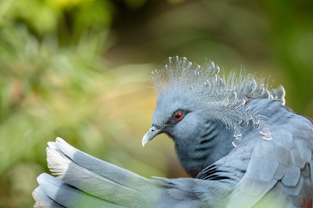 The beautiful Victoria Crowned Pigeon - Goura victoria. Tail feathers and head