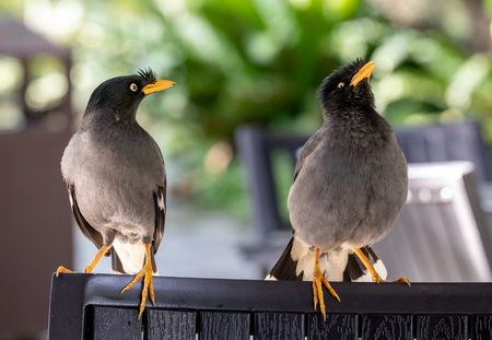 Javan Mynah, Acridotheres javanicus, two birds visiting an outdoor restaurant, while showing their mating rituals. Stock Photo
