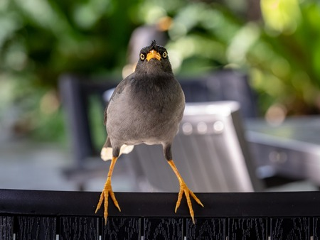 Javan Mynah, Acridotheres javanicus, bird sits on a chair, looking directly into camera. Stock Photo