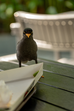 Javan Mynah, Acridotheres javanicus, looking for food on the table while visiting an outdoor restaurant.