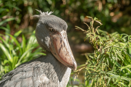 African Shoebill, Balaeniceps rex, also known as Whalehead or Shoe-billed Stork