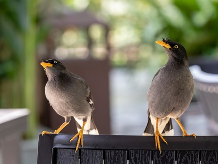 Javan Mynah, Acridotheres javanicus, two birds sitting on a chair in an outdoor restaurant in Singapore.