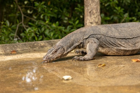 Water Monitor Lizard, Varanus salvator, drinking water from a puddle on the road