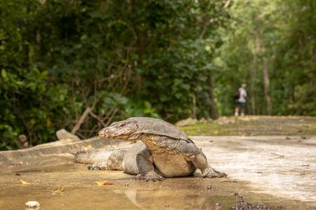 Water Monitor Lizard, Varanus salvator, lying on the road, man walking in the background