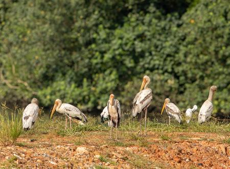 Painted storks, Mycteria leucocephala, flock of immature birds Stock Photo