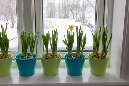 Colorful Flowerpots of Dwarf Daffodils, Narcissus, in a window post with snow outside. Spring. Stock Photo