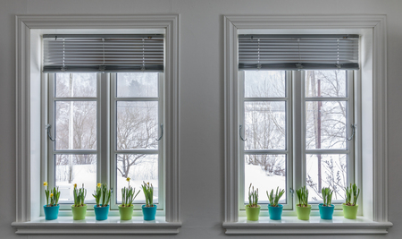 Two windows decorated with colorful Flowerpots of Dwarf Daffodils, Narcissus. Springtime with snow outside.