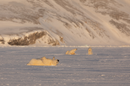 Young polar bear, Ursus maritimus, lying down rolling over on the ice, mother and siebling in the background. Svalbard 免版税图像
