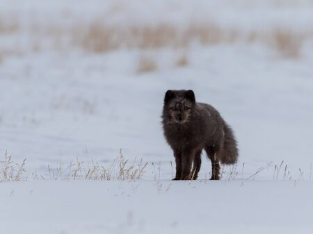 Arctic fox, Vulpes lagopus, blue fox in the snow Фото со стока