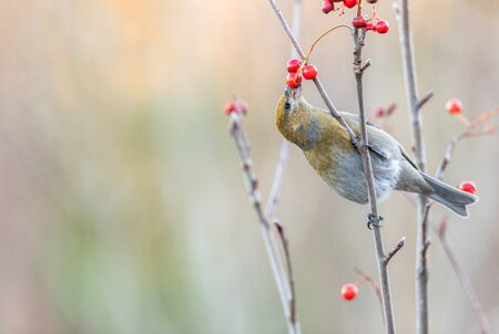 Pine grosbeak, Pinicola enucleator, female bird feeding on berries Reklamní fotografie