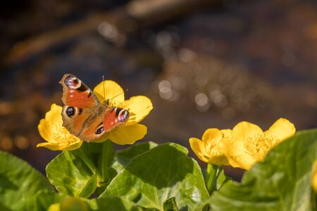 Peacock butterfly - Aglais io - sitting on the flower of Kingcup or Marsh Marigold - Caltha palustris. Water pond out of focus in the background. Kristiansand, Norway in Europe