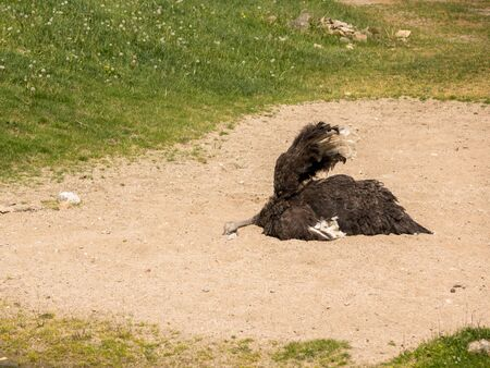 Ostrich, Struthio camelus taking a sand bath in the sunny weather. Animal behaviour, sand bathing is an essential part of the wellbeing of the ostrich.