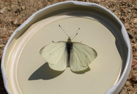 Small White or Small Cabbage White butterfly - Pieris rapae - one male insect sits in a metal cap due to a scientific study Banco de Imagens