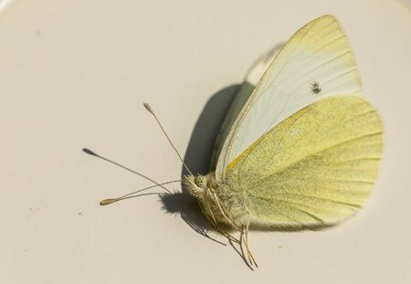 Small White or Small Cabbage White butterfly - Pieris rapae - view from the side. Male insect