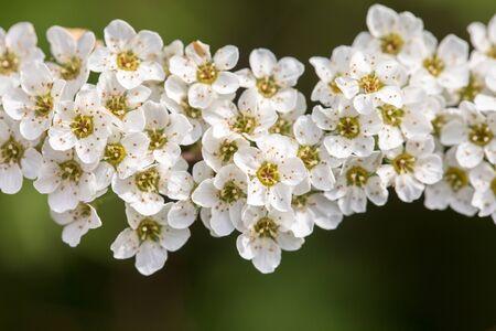 Spiraea cinerea - Grefsheim - spirea flowers on green background hybrid garden species