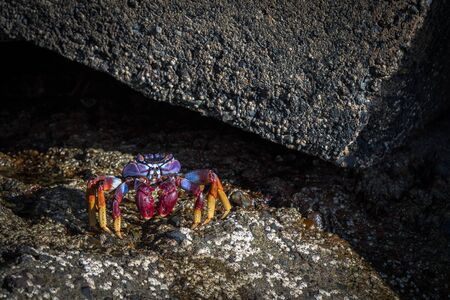 Grapsus adscensionis - red rock crab, standing on a rock in Puerto Rico, Gran Canaria, Spain